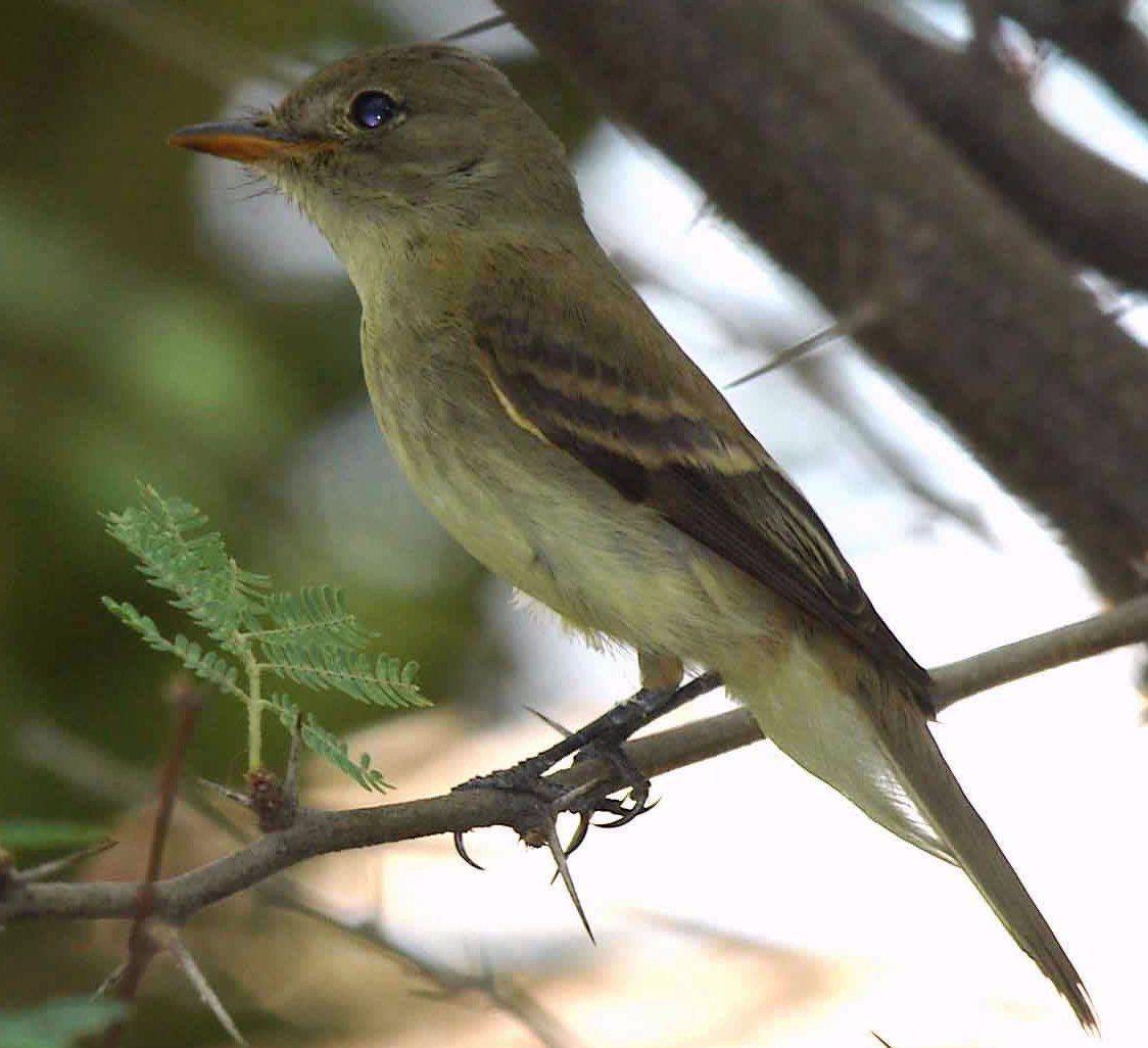 Willow flycatcher stock photo