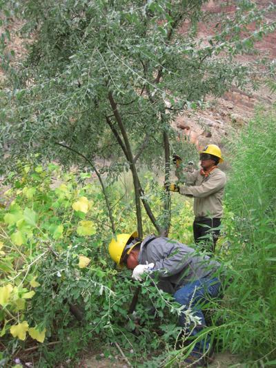invasive non-native Russian olive
