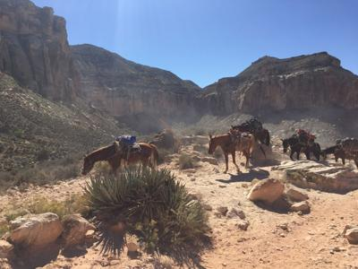 Pack horses loaded up on Havasupai Indian Reservation