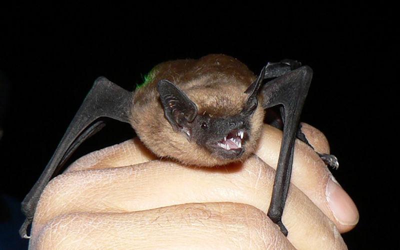 Battered Bats