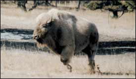 White buffalo to occupy ranch north of Flagstaff