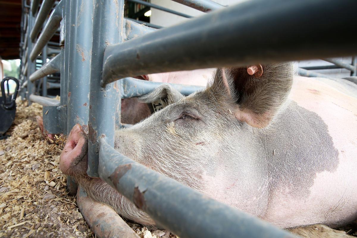 Swine Snoozers