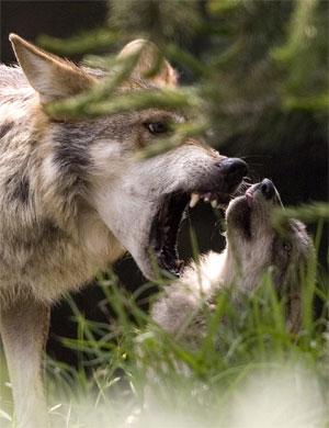 Endangered wolf program remains complex