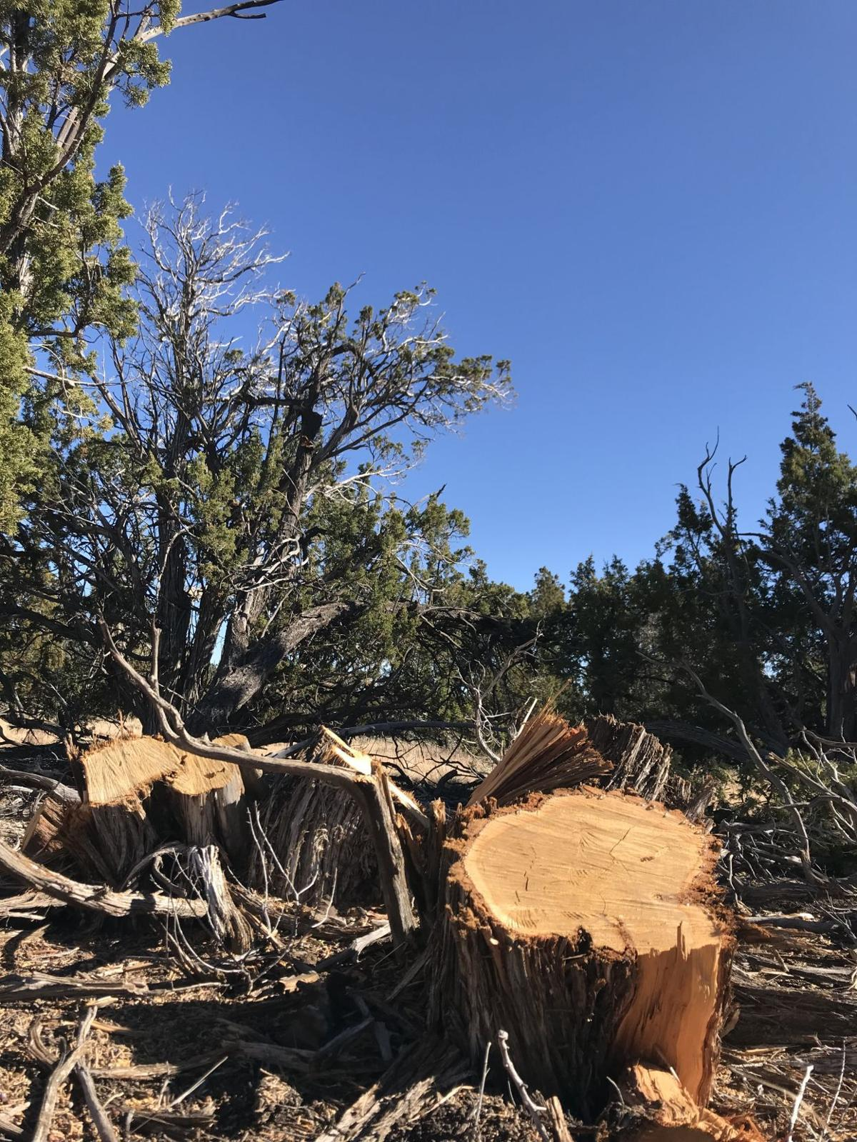 Cut juniper tree