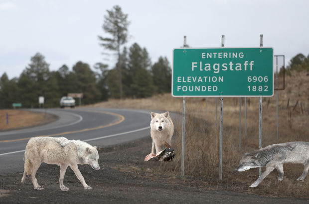 alpha wolf pack sighted in flagstaff