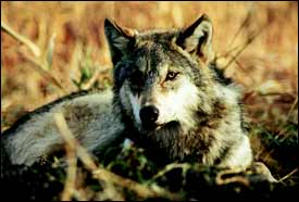 Trying to strip wolf refuges