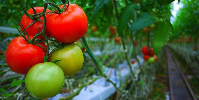 Tomatoes stk