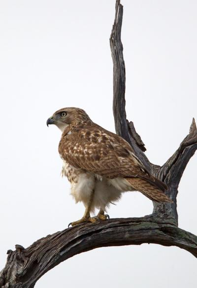 Hunting with hawks