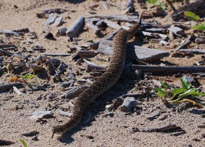 Rattleless Rattlesnakes?