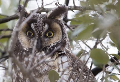 How Owls Hunt