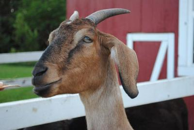 Pet Talk: The Stone-Cold facts of Uroliths in livestock animals