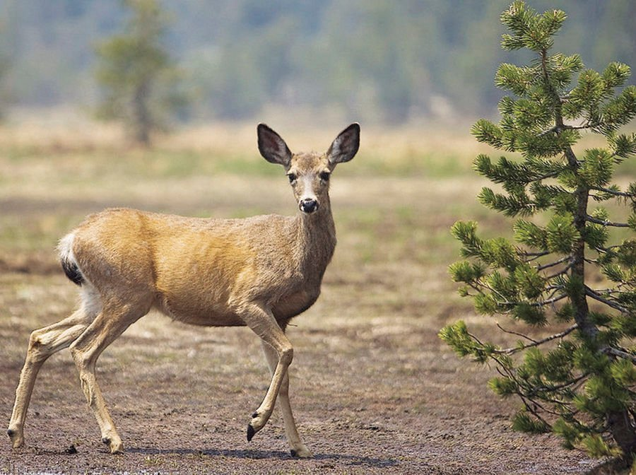 Short anterless deer season to start Nov. 28 in various counties