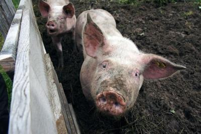Pet Talk: What to know about Swine Fever