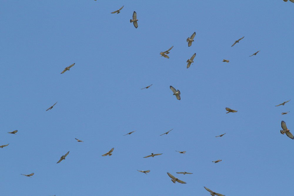 Migration and the Smith Point Hawk Watch