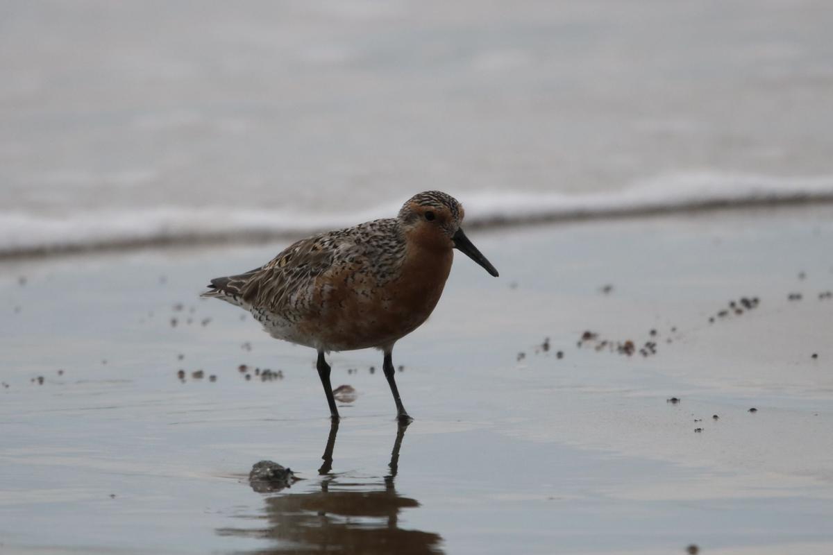 As one season ends, another season begins for shorebirds along the Texas coast