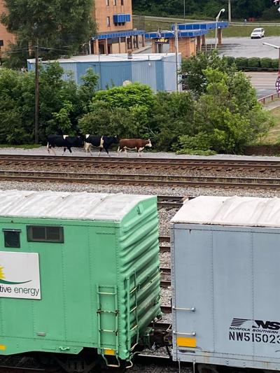 Cows on the tracks