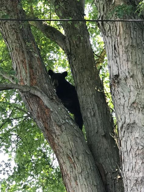 Dog chases bear up a tree, bear later flees to Princeton motel | News | bdtonline.com