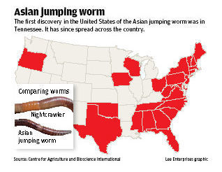 Asian jumping worm