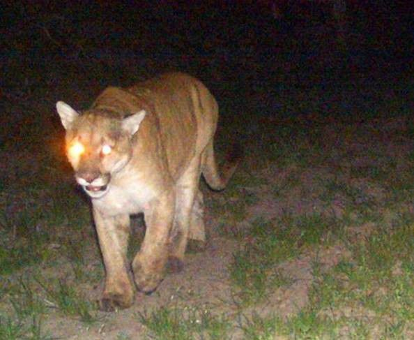 Mountain Lions Are Here And Here To Stay Local Beatricedailysun Com