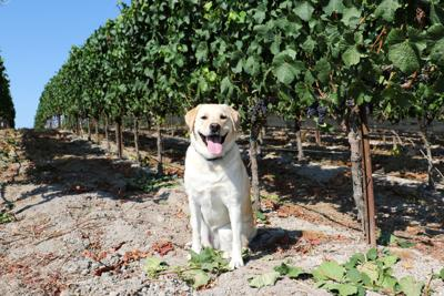 Cheers to Dog Friendly Wineries! (image)