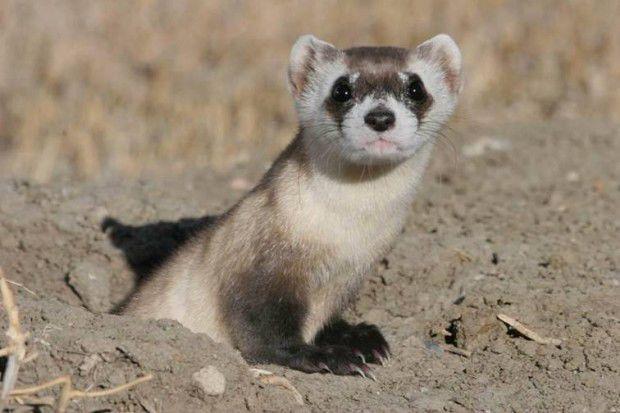 What Is The World S Rarest Mammal Local Beatricedailysun Com