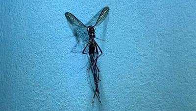Rare mosquito