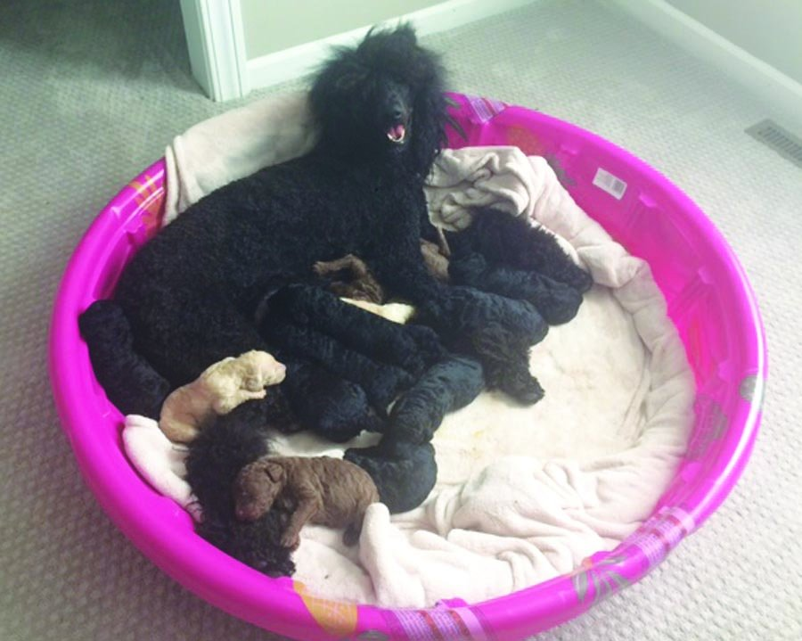STANDARD POODLE PUPPIES $950  | Pets | belgrade-news com