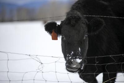 cow winter