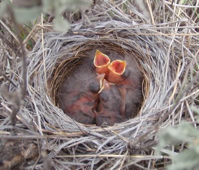 Bird Nest baby birds