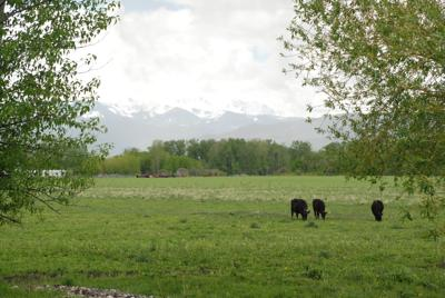 Gallatin Gateway Cows Spanish Peaks Mountains