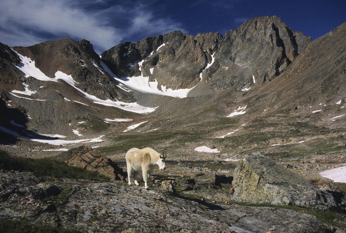 Granite Peak mountain goat