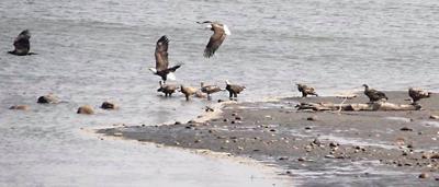 Morse eagles
