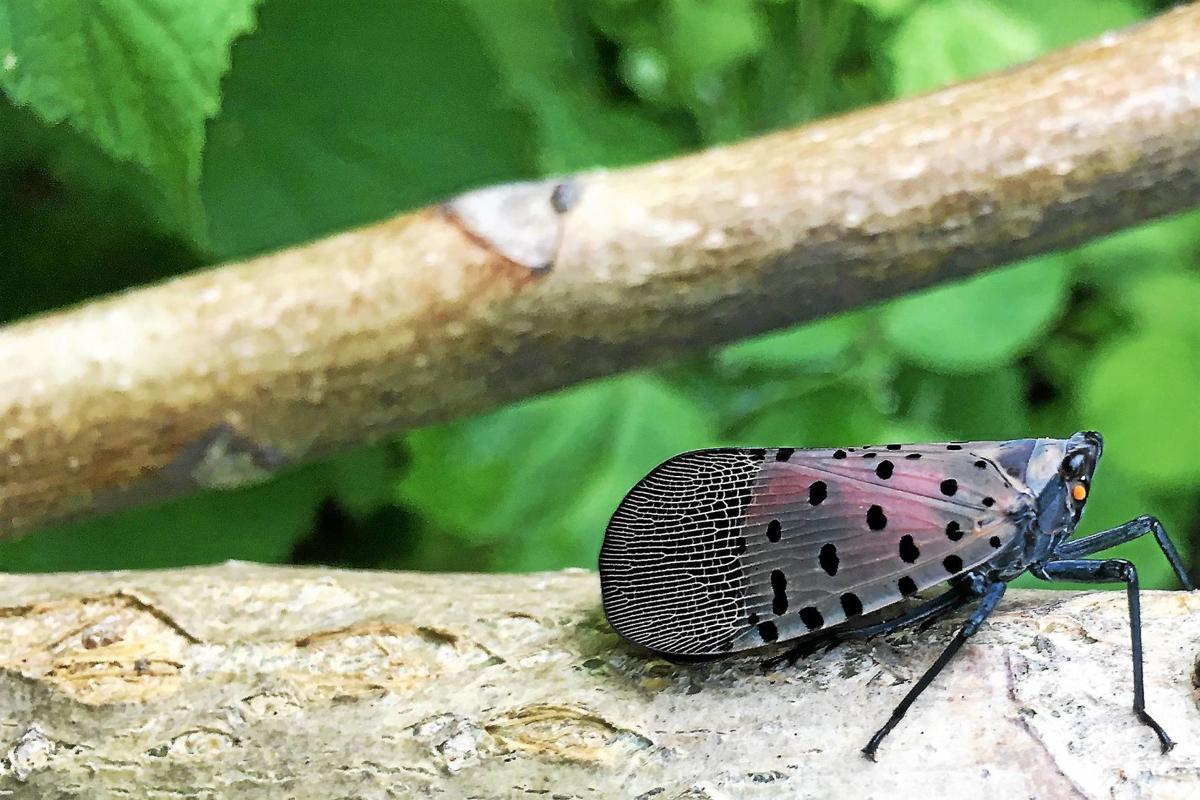 Spotted lanternflies attacking trees in region