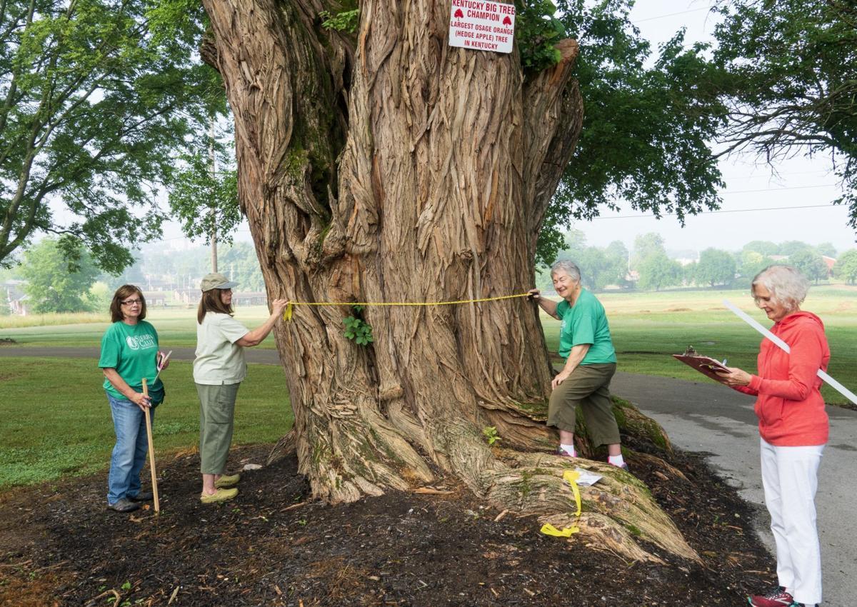 Sierra Club measures city's biggest trees