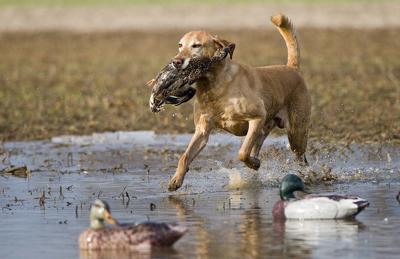 Duck dog 11-23-19