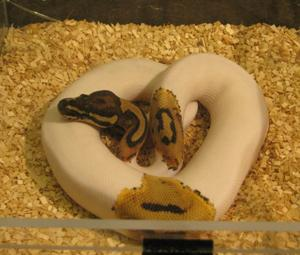 Reptile breeders show to be held in Cave City | News | bgdailynews com