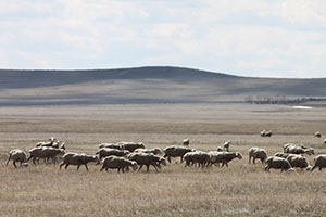 Federal land grazing important tool for South Dakota ranchers