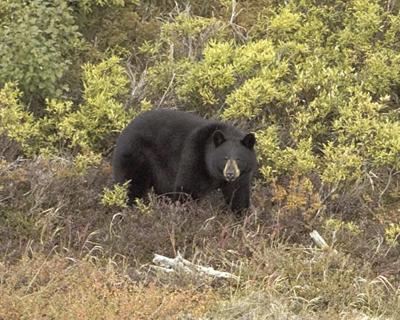 Black bear spotted near Spearfish