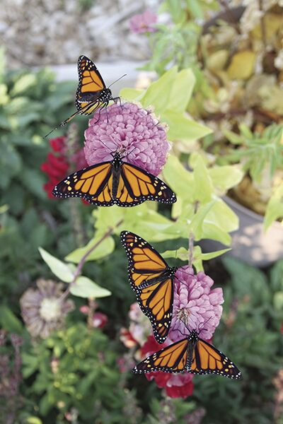 Monarchs emerge after BHSU student leads charge