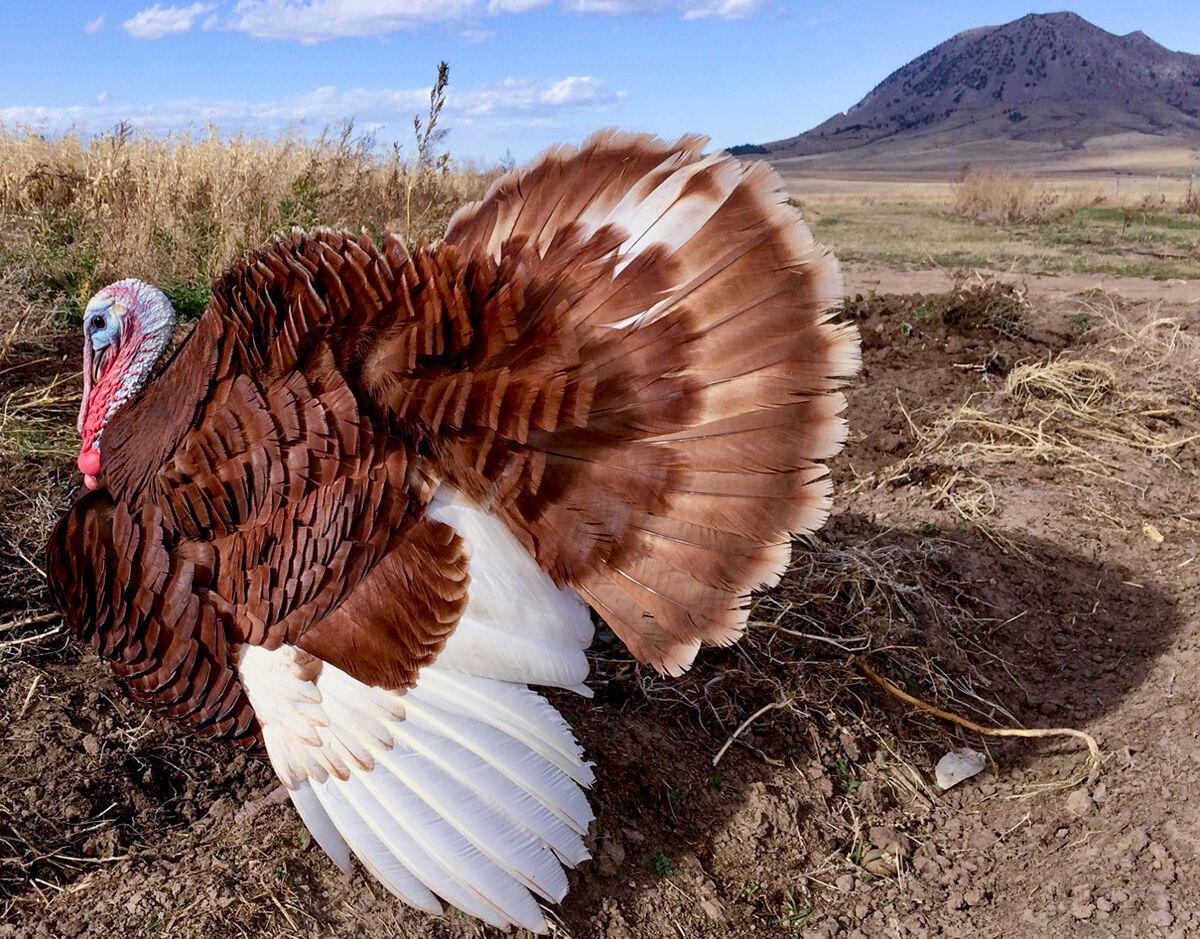 S.D. farmers raise 'heritage turkeys' to preserve ancient breeds