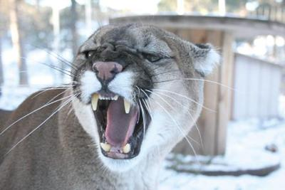 Rapid City man attacked by mountain lion