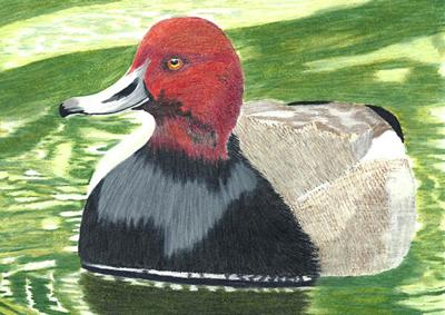 Winners of SD Junior Duck Stamp contest announced