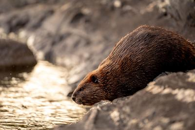 GFP commissioner calls for end to beaver hunting in Black Hills