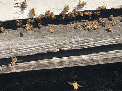 South Dakota beekeepers facing industry's 'darkest days'