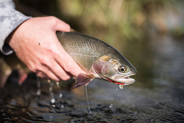 New species of trout to catch in Black Hills