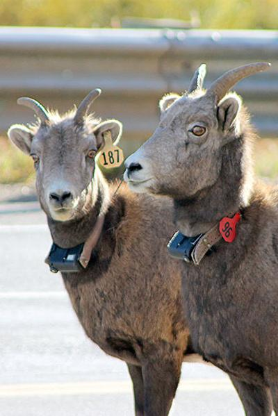 Some Deadwood bighorns testing positive for deadly bacteria