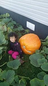 Giant pumpkin stolen