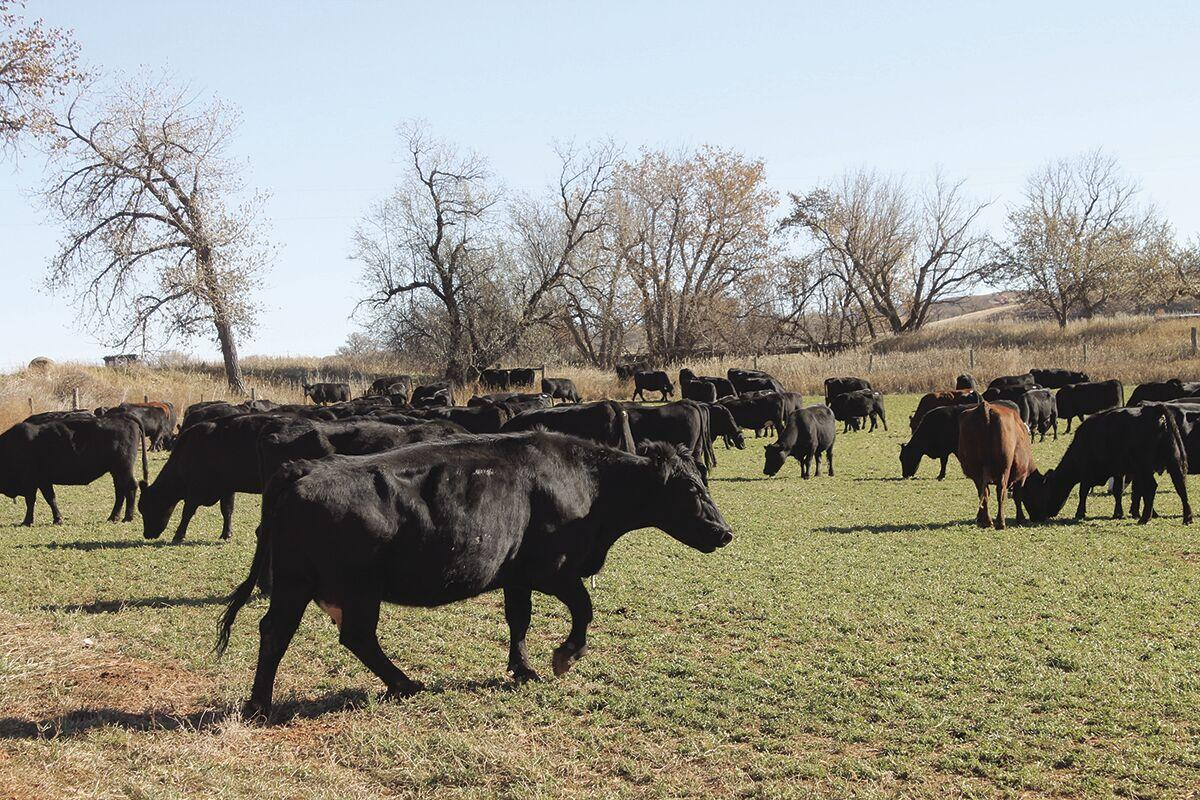 Black Hills beef part 7: 'Cash cows' year-long efforts pay off at sale time