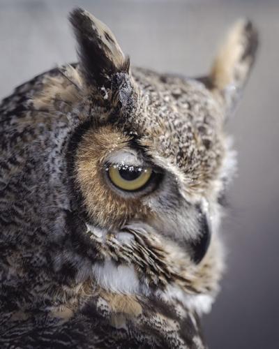 Aldo, the great horned owl