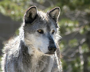 Bill puts wolves in crosshairs